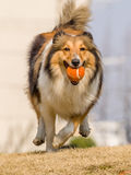 Dog, Running Shetland Sheepdog Stock Images