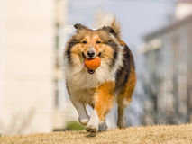 Dog, Running Shetland Sheepdog Stock Photography
