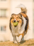 Dog, Running Shetland Sheepdog Stock Photos