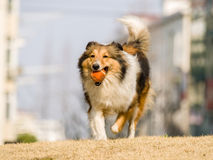 Dog, Running Shetland Sheepdog Royalty Free Stock Images