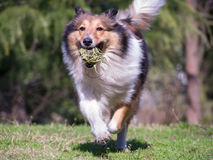 Dog, Running Shetland Sheepdog with ball in mouth Stock Photos