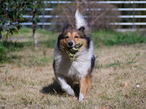 Dog, Running Shetland Sheepdog with ball in mouth Royalty Free Stock Images