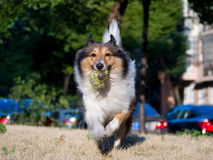 Dog, Running Shetland Sheepdog with ball in mouth Stock Photography