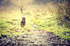 Dog running. A small dog running in a garden Stock Image