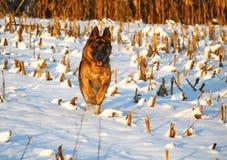 dog running snow Στοκ Εικόνες