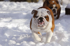 Dog running in snow Stock Photography