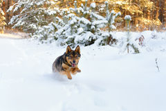 Dog running in the snow. Dog runs through the snow in a pine forest stock photography