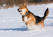 Dog running in the snow Royalty Free Stock Image
