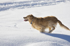 Dog running in the snow. Golden retriever running in the snow Stock Image