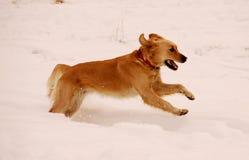 dog running snow royaltyfri foto