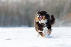 Dog is running in the snow Stock Images