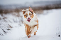 Dog running on snow-covered park. Active walk with the dog. Dog in motion Stock Photos
