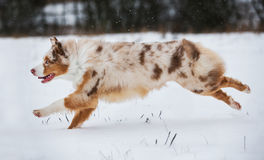 Dog running on snow-covered park. Active walk with the dog. Dog in motion Stock Photo