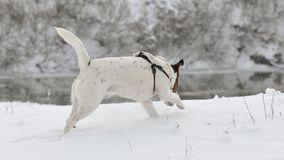 Dog running in snow. Cute dog Smooth Fox Terrier running in snow Stock Image