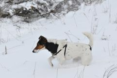 Dog running in snow. Cute dog Smooth Fox Terrier running in snow Royalty Free Stock Photos