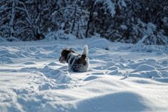 The dog is running in the snow. Royalty Free Stock Images