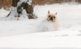 Dog running in snow Royalty Free Stock Photo
