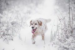 Dog running in the snow Royalty Free Stock Photos