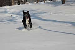 Dog running in the snow Royalty Free Stock Images