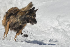 Dog while running on the snow Stock Images