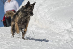 Dog while running on the snow Royalty Free Stock Photo