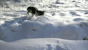 Dog running jumping through snow stock video