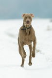 Dog running in the snow Stock Photos