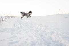 Dog running in snow. Winter scenery of a big dog without tail running and playing in snow Royalty Free Stock Photos