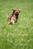 Dog running after stick. Little dog running after stick royalty free stock photos