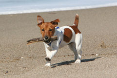 Dog running with stick Stock Photo