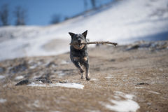 Dog running with stick in his mouth. Happy dog running with stick in his mouth. He is playing run and fetch. Photography can be use for warning owners about Royalty Free Stock Photos