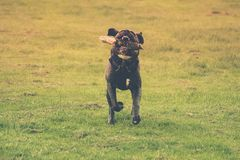 Dog running with a stick in its mouth. Green background royalty free stock photos