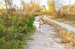 Dog running with stick. Playful small dog in autumn stock images