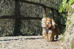 A dog running to you while holding a pine cone Royalty Free Stock Image
