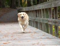 Dog running toward camera Stock Photo