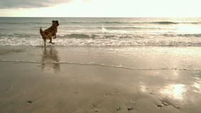Dog running toward sea stock video