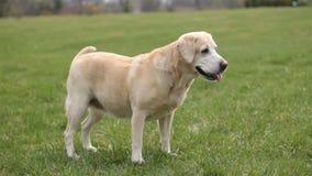 Dog running towards camera. Labrador breed dog running to camera stock video