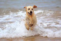 Dog running in water. A beautiful young wet thoroughbred Golden Retriever dog playing and running out of the water Stock Photo