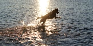 Dog running on water Stock Images