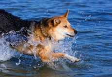 Dog jumping into the water Royalty Free Stock Photos