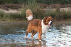 Dog running in the water Stock Photo