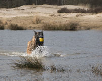 Dog running in the water with a ball Royalty Free Stock Photography