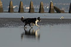 Dog running into water on a beach. A black an white dog running into the water on Cramond Beach stock photo