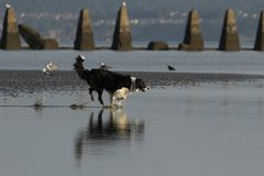 Dog running into water on a beach. A black an white dog running into the water on Cramond Beach with birds in the background royalty free stock photography