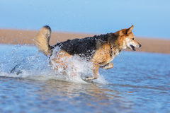 Dog running in water on the beach Royalty Free Stock Photography