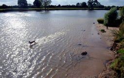 Dog running through water Royalty Free Stock Images