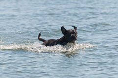 Dog running through the water Royalty Free Stock Photo
