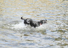 Dog running in water Royalty Free Stock Photography