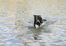 Dog running in water Stock Photography