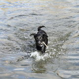 Dog running in water Royalty Free Stock Images